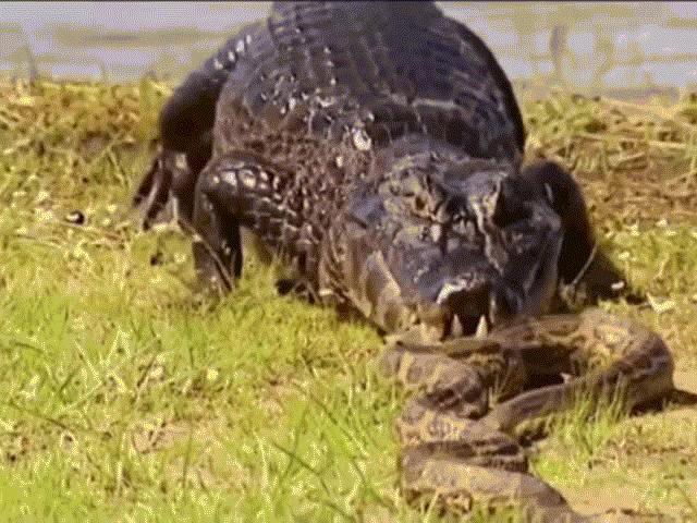 """Lạc giữa bầy cá sấu, """"mãng xà"""" khủng bị quật """"thừa sống thiếu chết"""""""