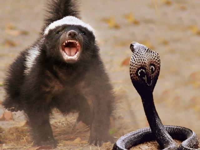 Loài vật có khả năng kháng độc tuyệt diệu khi đối đầu các loại rắn