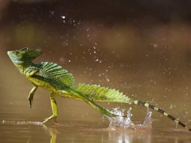 """Khả năng kỳ lạ của loài động vật chạy """"khinh công"""" trên mặt nước lên đến 11km/h"""