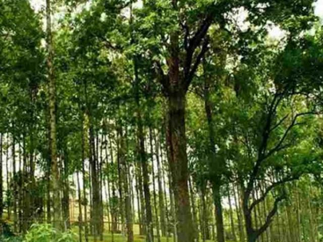 """Loại cây được ví như """"vàng ròng"""", ở Việt Nam không hiếm, giá vài chục triệu/kg"""