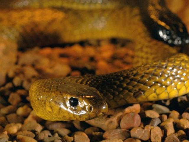 Loài rắn sở hữu nọc độc khủng khiếp có thể giết chết 100 người cùng lúc
